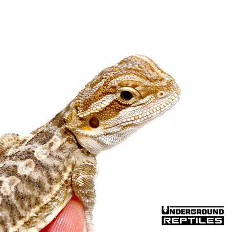 Baby Bearded Dragons For Sale - Underground Reptiles